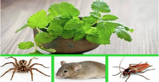 si vous avez cette plante dans votre maison vous ne verrez plus jamais ni de souris ni d. Black Bedroom Furniture Sets. Home Design Ideas