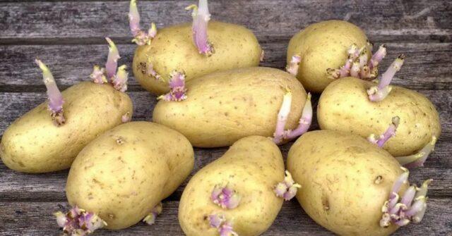 Peut-on manger une pomme de terre qui a germé ?